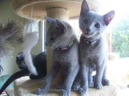 Disponibles  jolis chatons Bleus Russes