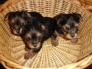 Sublime Chiots Type Yorkshire Toy Mini