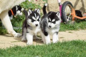 A DONNER: Magnifiques chiots type husky sibérien