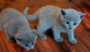 Chatons Bleu Russe mâles et femelle A DONNER