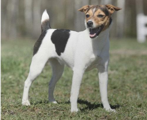 Jeune chien Jack Russell Parson