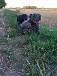Staffordshire Bull Terrier (staffie)