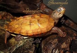 Rare tortue feuille geoemyda Spengleri CB Suisse