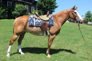 Paint horse für gutes Zuhause