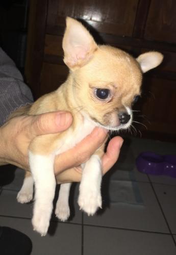 Magnifique Femelle Chihuahua poil court