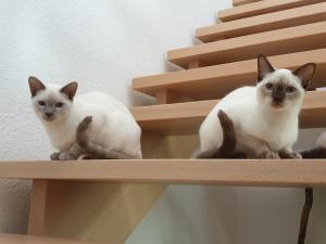A vendre  3 chatons siamois