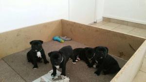 Jolis Staffordshire Bull Terrier staffie
