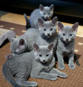 Magnifique chatons Bleu Russe   1 femelle 1  mâles
