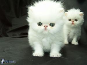donne chaton persan