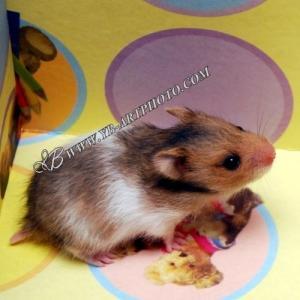 Les hamsters de (Loupio-Hamster)