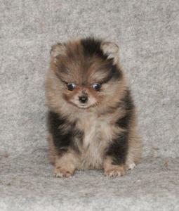 Magnifiques chiots Spitz Pomeranian MINI