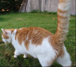 Perdu Moustique Chat roux et blanc