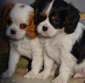 Donne chiots Cavalier King Charles