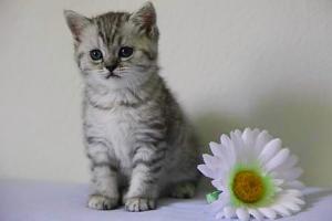 Beaux chatons British Shorthair et Longhair