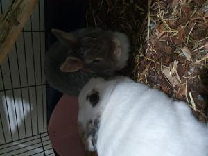 Couple de lapins à donner avec grande cage
