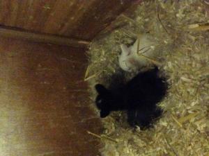 4 petits lapins nains