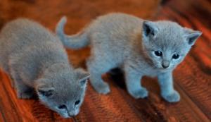A DONNER / chatons Bleu russe pure race male et femelle