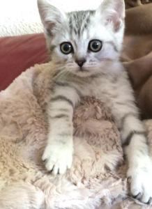 Petit chaton British short haïr à vendre
