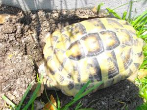 bébés tortues Hermann et Marginée