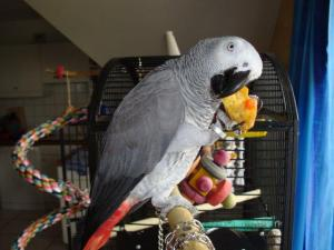 belle femelle gris du Gabon