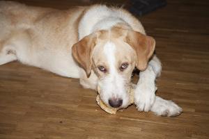 URGENT A PLACER grand jeune chien (croisé)