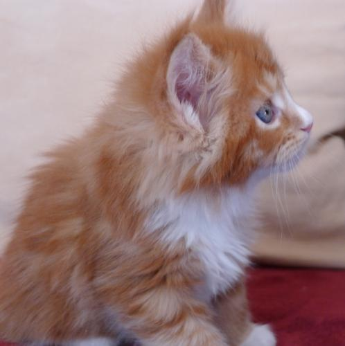 Beaux chatons maine coon avec pedigrees