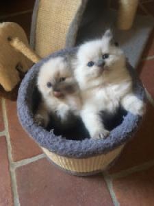 donne chatons ragdoll