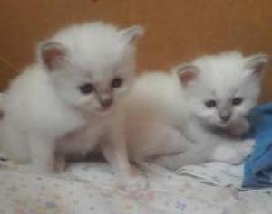 A DONNER: 2 chatons sacré de Birmanie pure race DE 3 MOIS