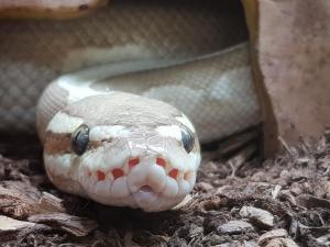 Recherche Python Régius femelle