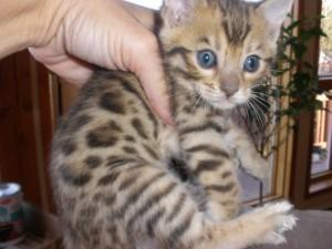 2 chatons Bengal pure race a donner