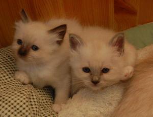 A DONNER / 2 magnifiques chatons siamois pure race