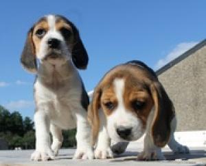 Chiots Beagle pure race mâle et femelle A DONNER