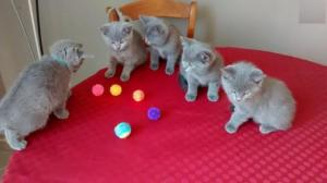 A Donner Beaux Chatons chartreux Race Pure
