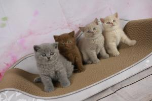 A DONNER CHATONS BRITISH SHORTHAIR