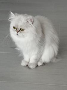Cherche foyer pour chats persan silver