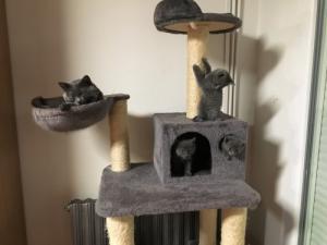 chaton chartreux LOOF à réserver
