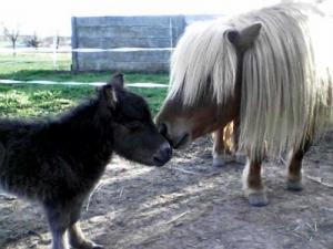 animation avec poneys mini-shetland
