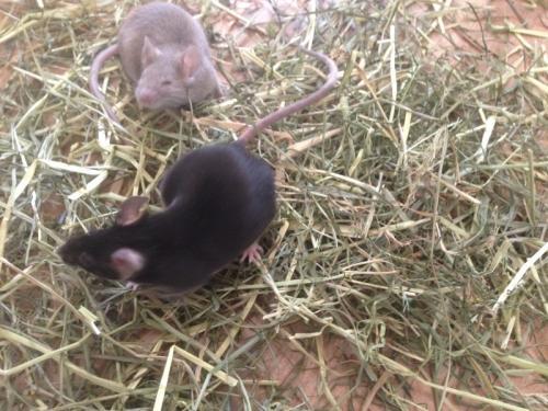 2 souris + cage + accessoires