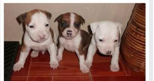 A donner Chiots Amstaff