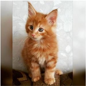 adoption chaton Maine Coon avec Pédigrée
