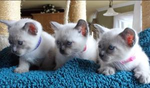 Chatons Siamois A DONNER