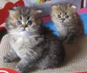 Chatons Persan A DONNER