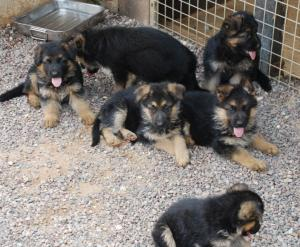 Donne Chiots Berger Allemand