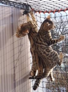 Superbes chatons Bengal F5