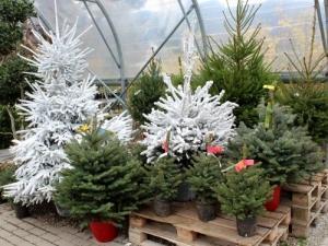 Sapins de Noël Jardinerie Constantin