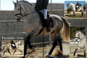 Etalon pure race espagnole gris