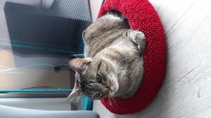 J'offre mon chat Safir contre très bon soins