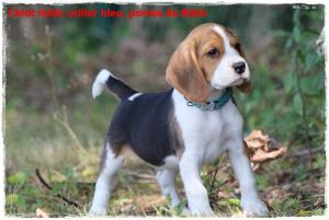 Chiot Beagle mâle 2 mois