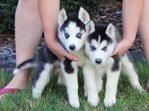 j'offre contre bon soin chiots husky sibériens