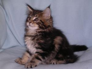 A DONNER / chatons maine coon pure race male et femelle
